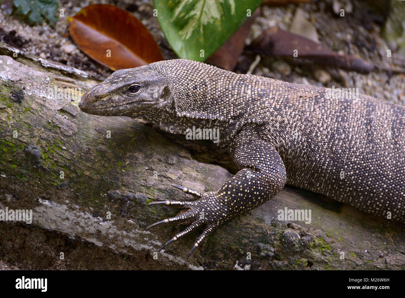 Portrait of clouded monitor lizard - Stock Image