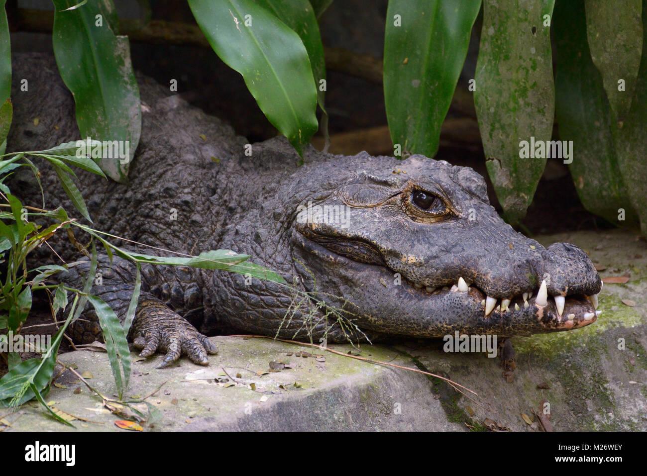 Alligator crawling on the ground - Stock Image