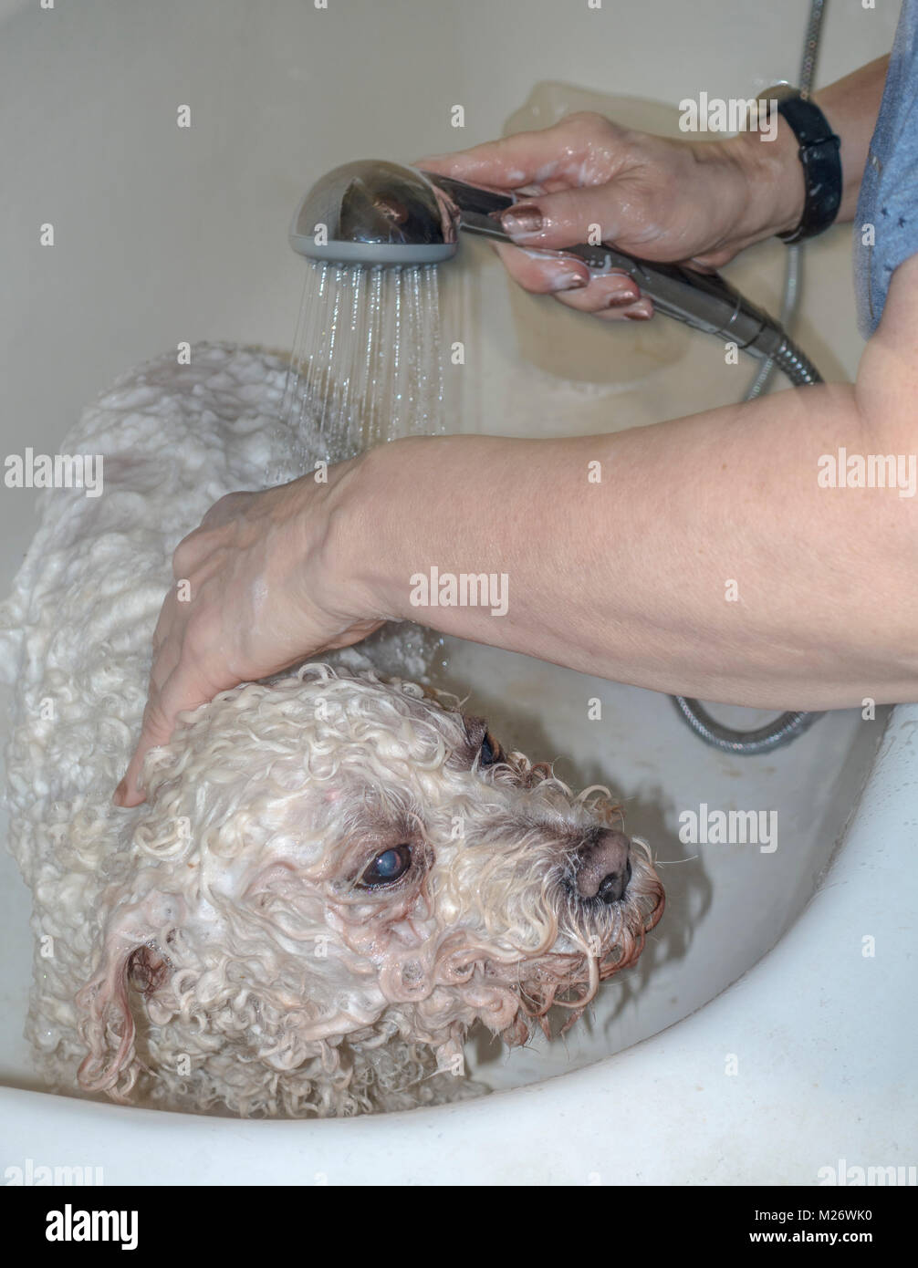 Woman washing her white curly coated, pedigree pet Bichon Frise dog, in a bath tub at home, with warm, soapy water. - Stock Image