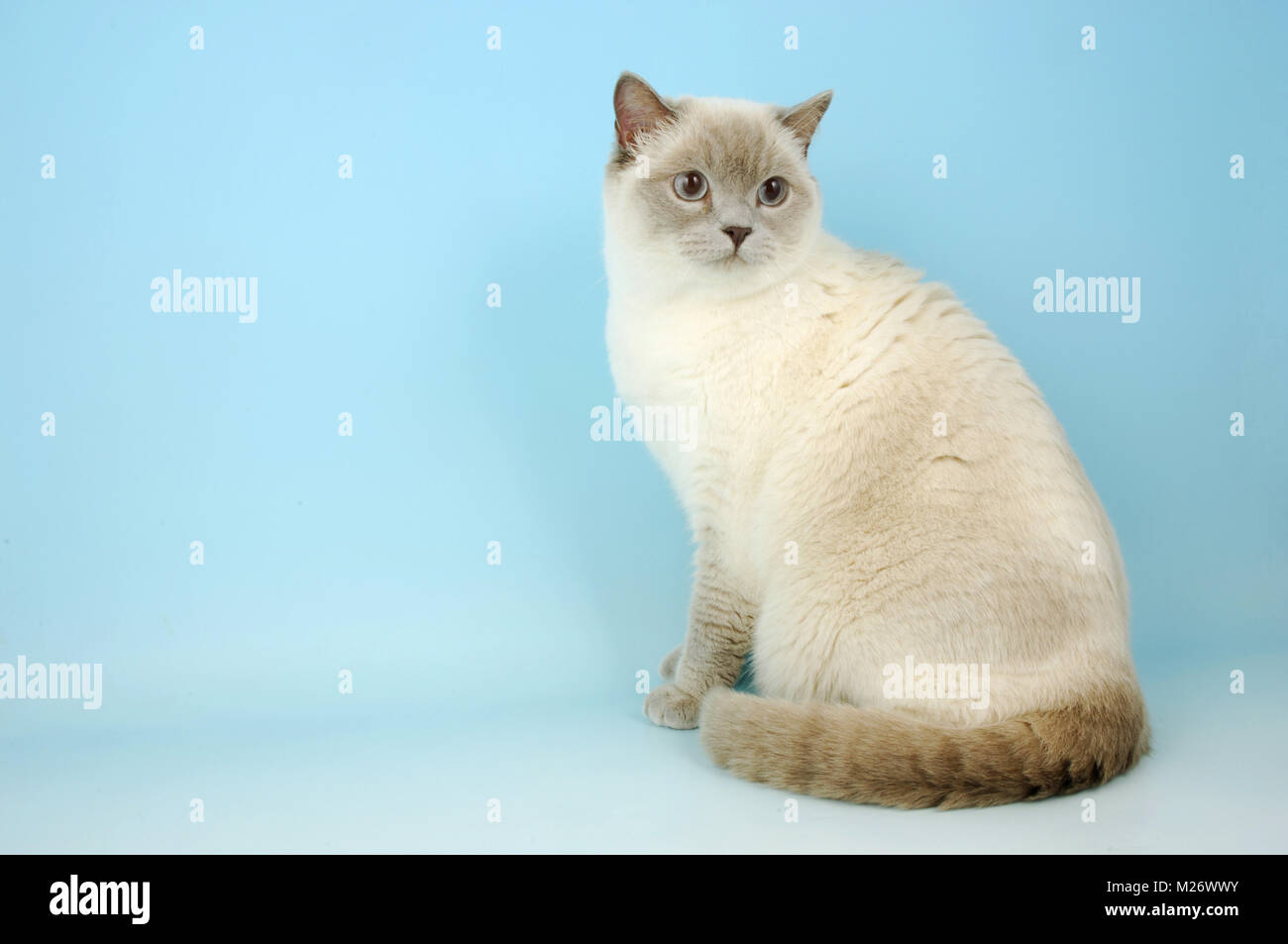 British Shorthair Lilac Colour Point Stock Photo Alamy