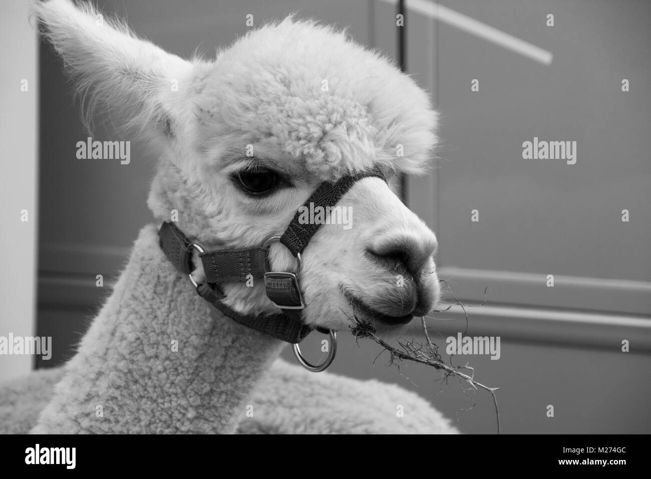 An alpaca, photographed in black and white, chewing a twig at a country show in Hampshire - Stock Image
