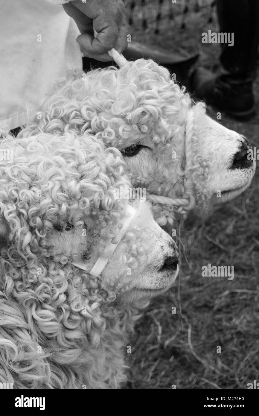 Profile of heads of two curly wooled sheep at a country show in Hampshire - Stock Image