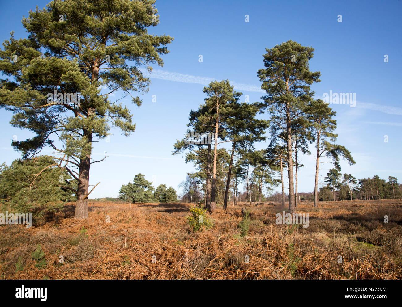 Heathland vegetation bracken, pine trees Upper Hollesley Common, Suffolk, England, UK - Stock Image
