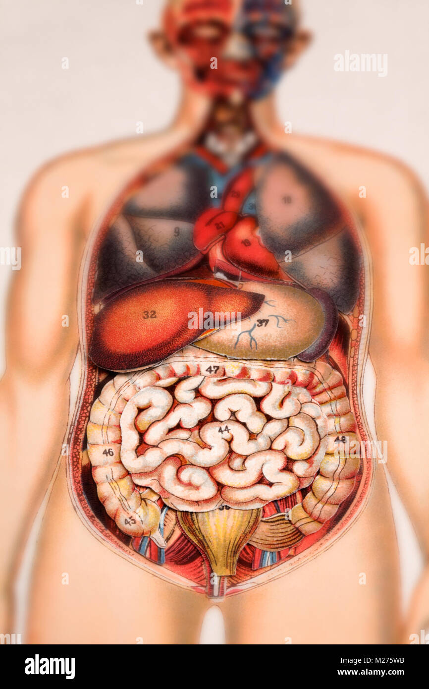 Medical illustration of human beings - Stock Image