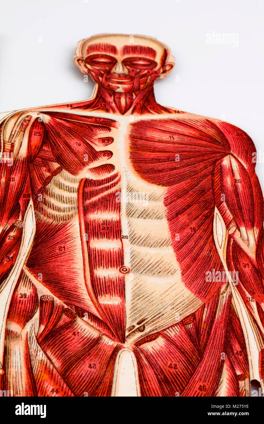 Medical illustration of human beings Stock Photo