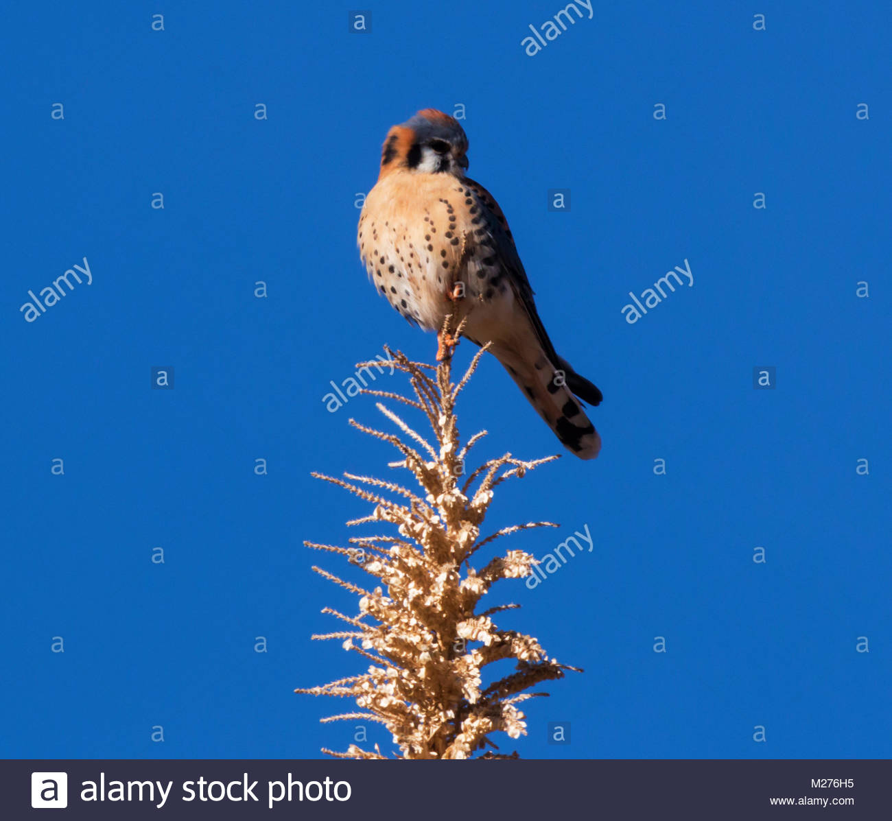 American Kestrel, Falco sparverius, Sparrow Hawk, perched on sotol stalk in New Mexico, USA - Stock Image