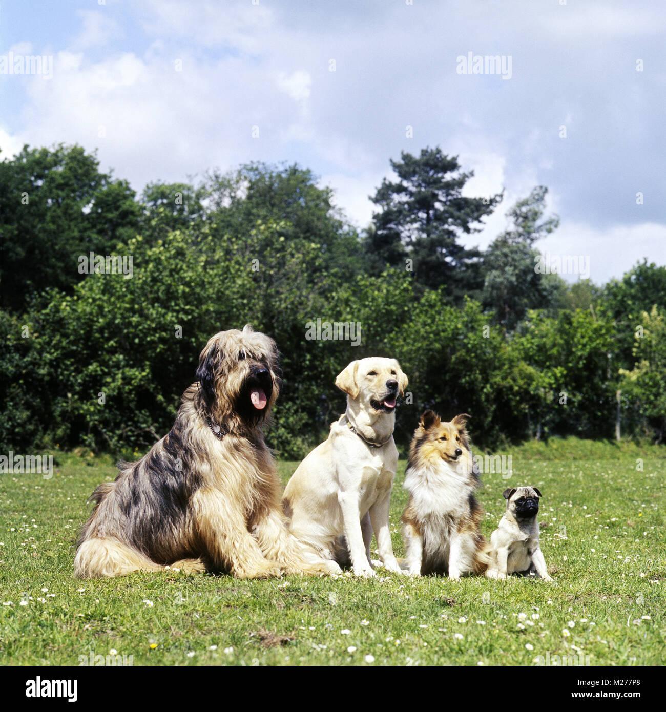 best website 78746 0fd83 briard, golden, sheltie and pug together