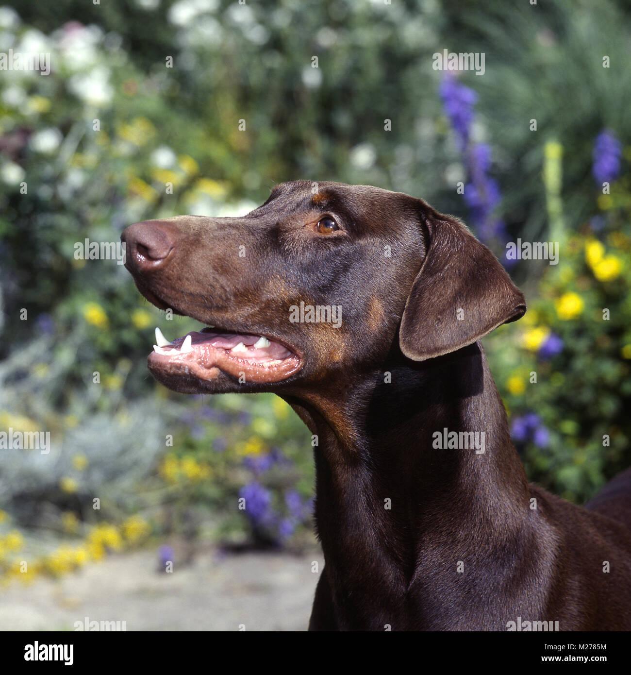 brown dobermann, portrait - Stock Image