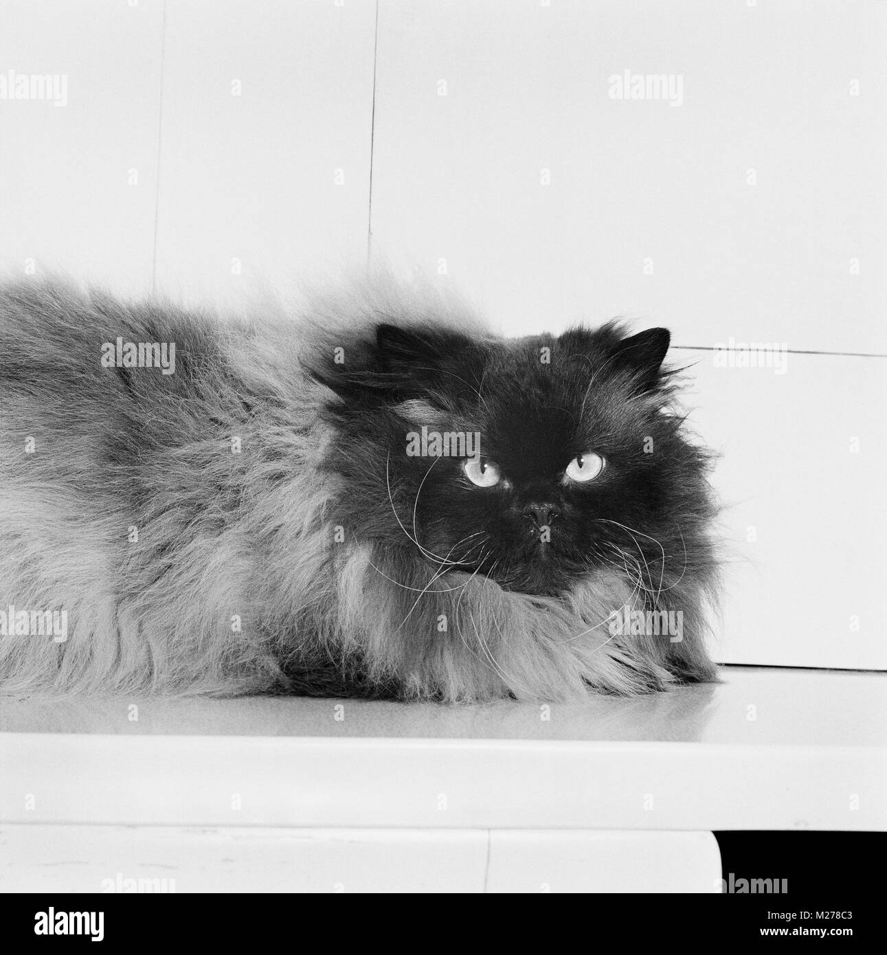 colourpoint cat, seal point. (Aka: Persian or Himalayan) - Stock Image
