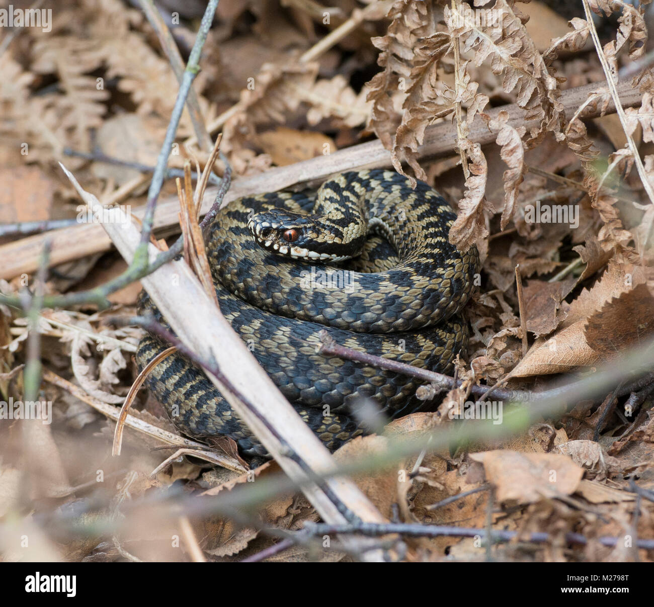 Newly emerged male adder Vipera berus in spring basking in weak sunlight on a South Yorkshire Heathland. - Stock Image