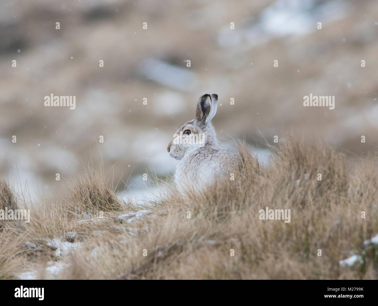 Mountain Hare Lepus timidus in their white winter coat in winter with a snowy background on the upland moors of - Stock Image