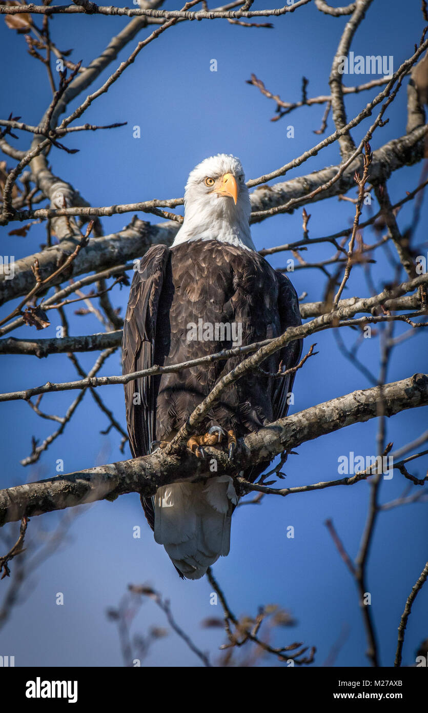 A portrait of an American Bald Eagle sitting on a branch with a blue sky background. Was taken in Squamish BC in - Stock Image