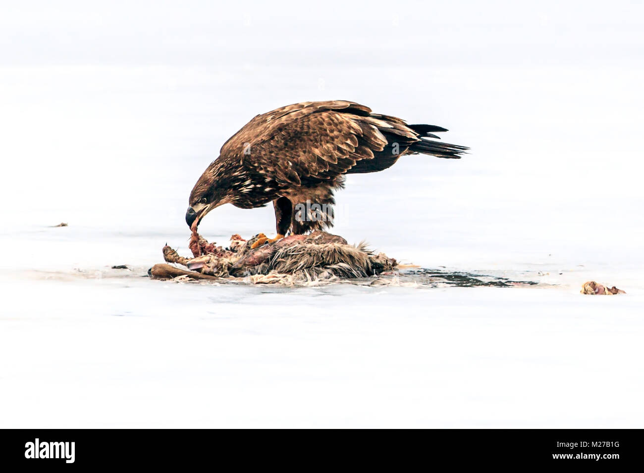 Young bald eagle tears meat from carcass on the froze Hauser Lake in Idaho. - Stock Image