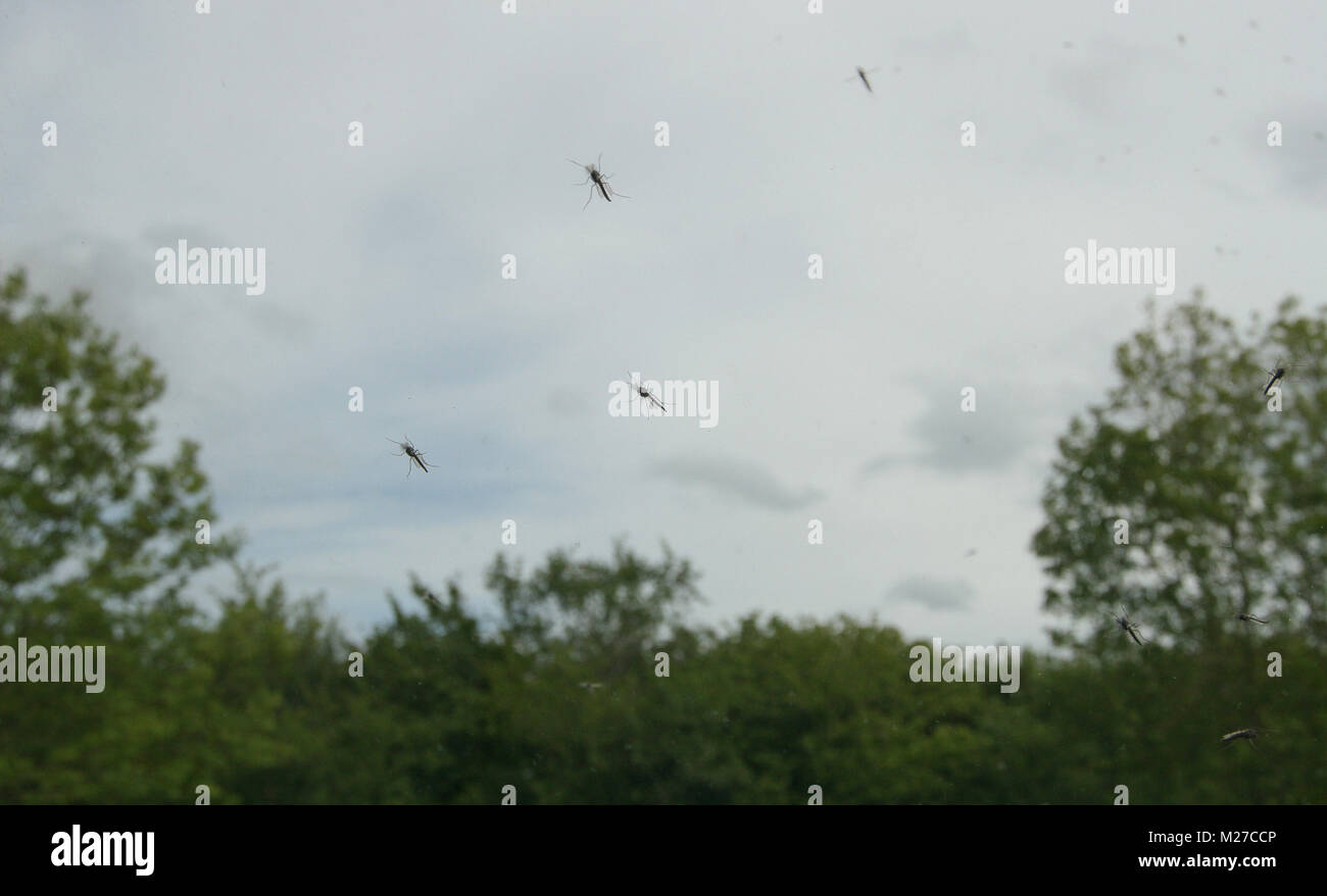 Mayflies on car windscreen. - Stock Image
