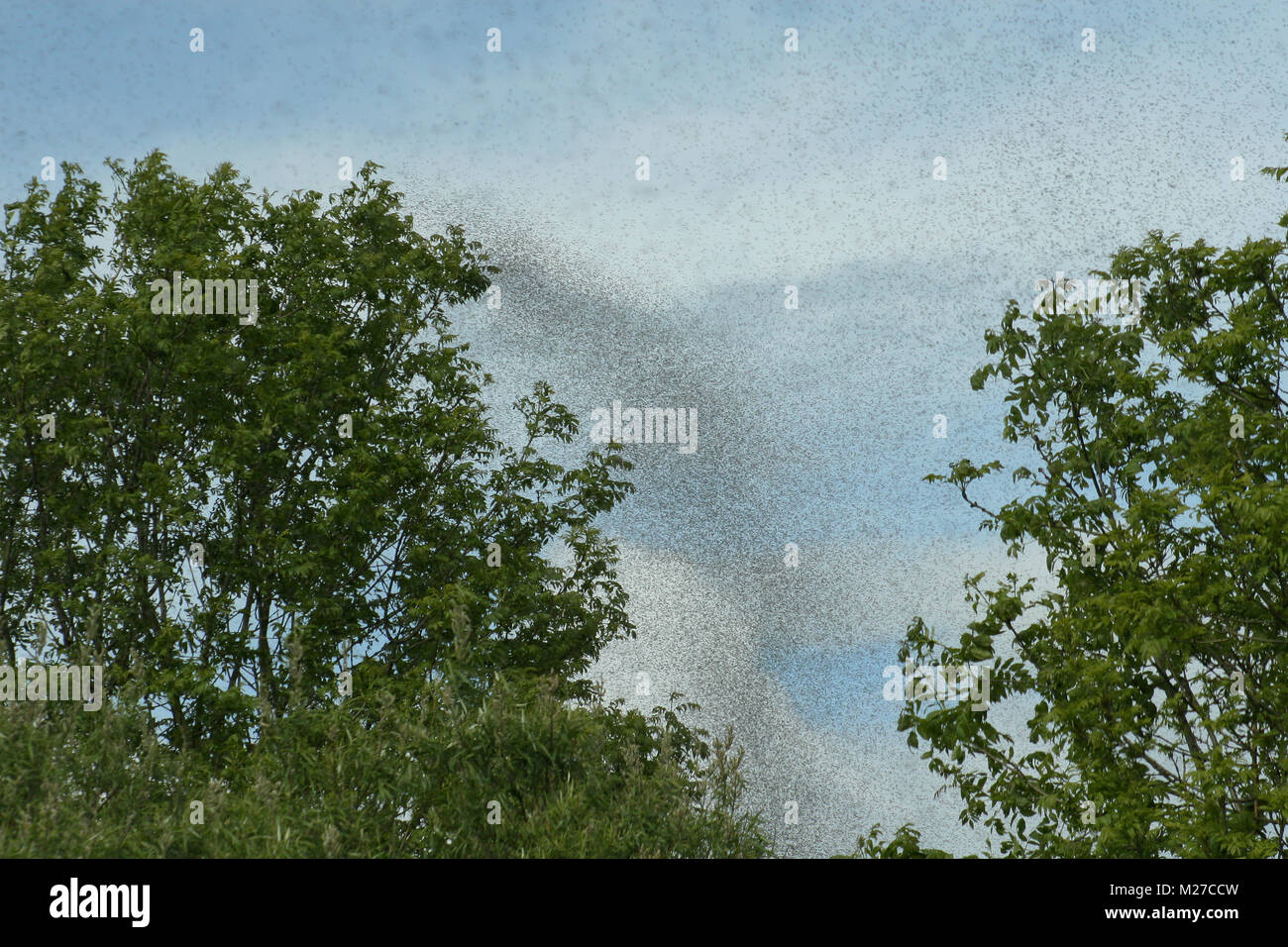 A hatch of mayflies in the sky. - Stock Image