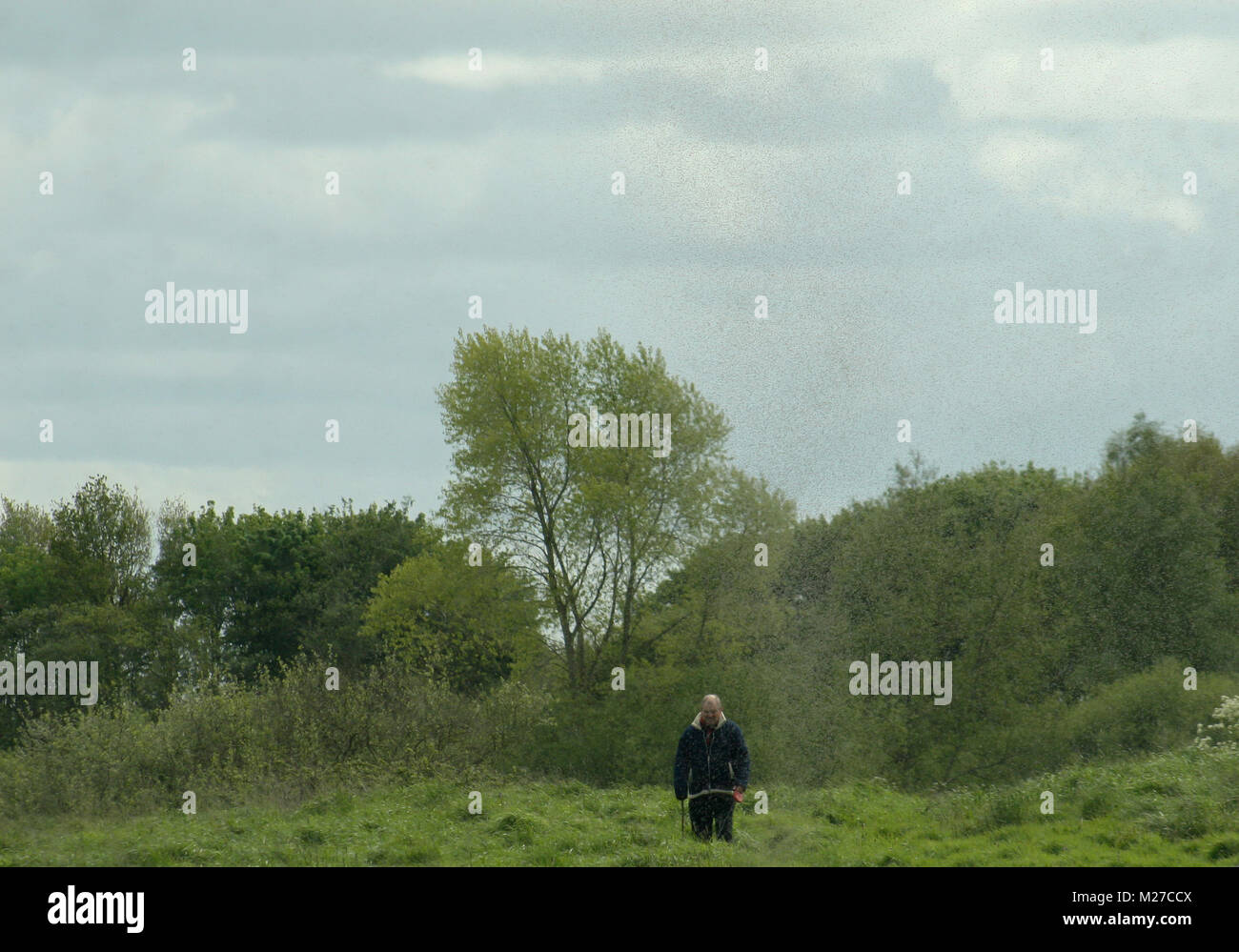 Man walking with dog surrounded by a hatch of mayflies. - Stock Image