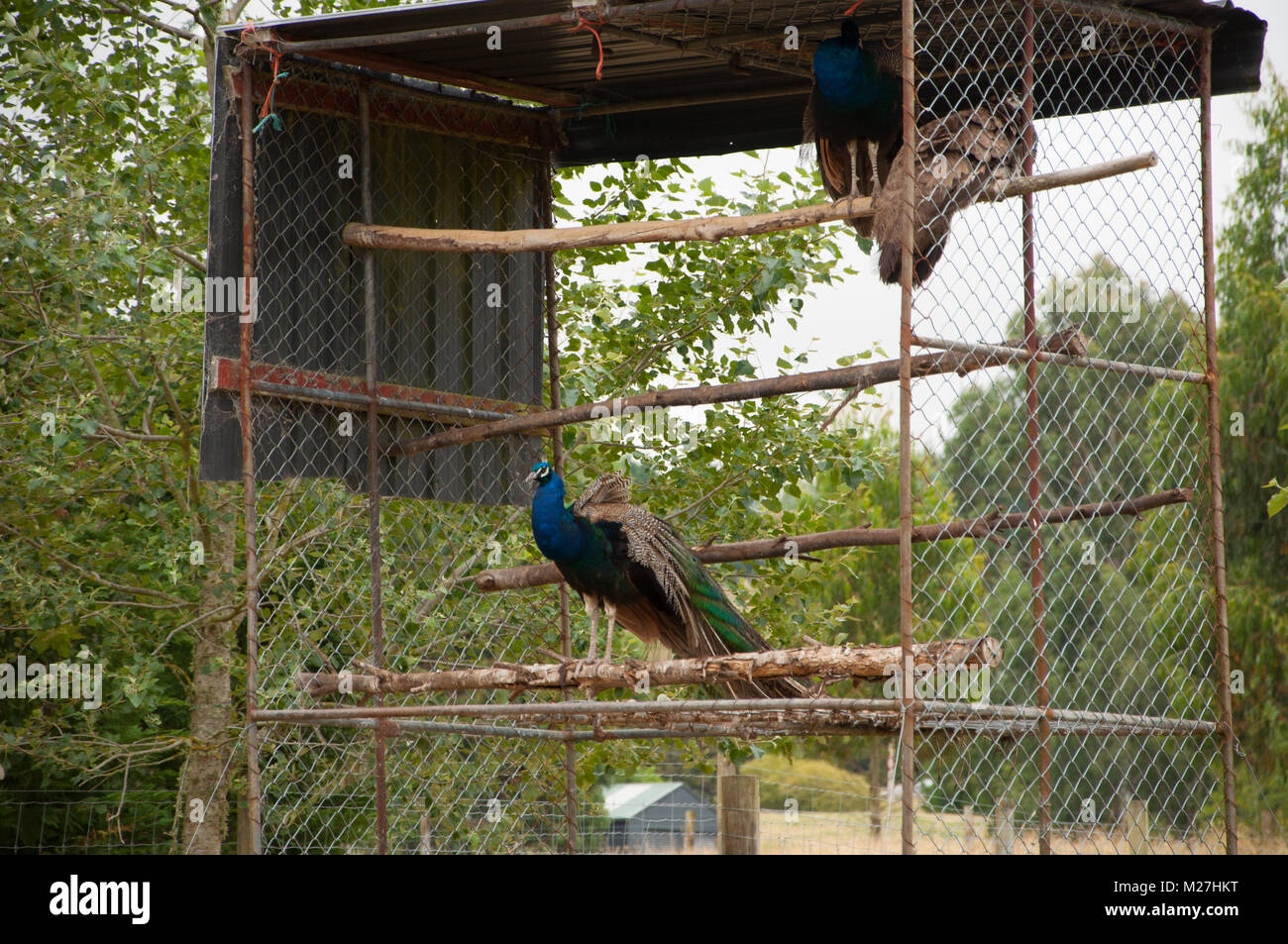 Peacocks In A Cage - Stock Image