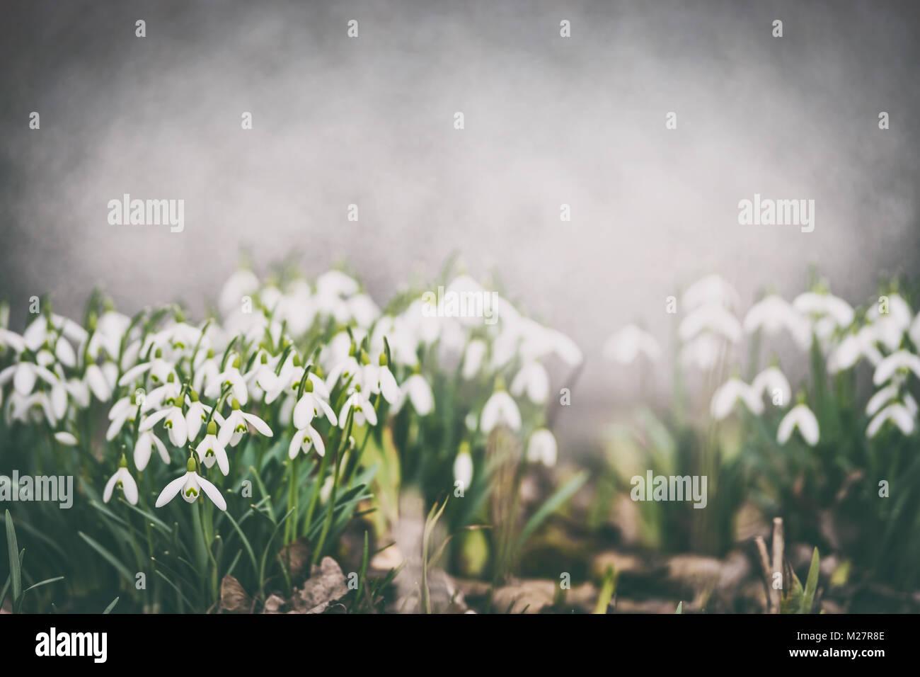 Pretty snowdrops on garden bed outdoor Springtime flowers Spring