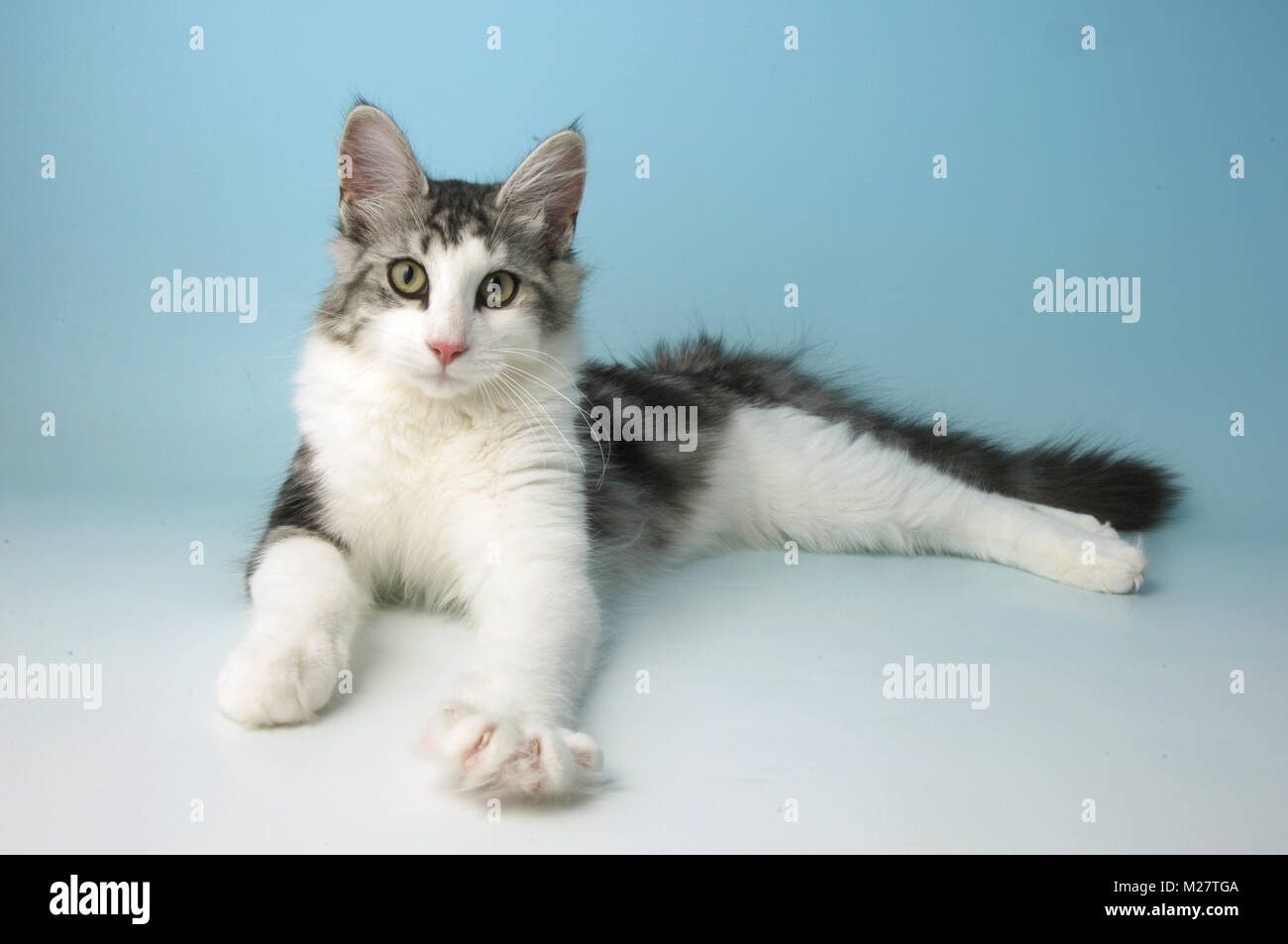 120cda34aa silver tabby and white norwegian forest cat