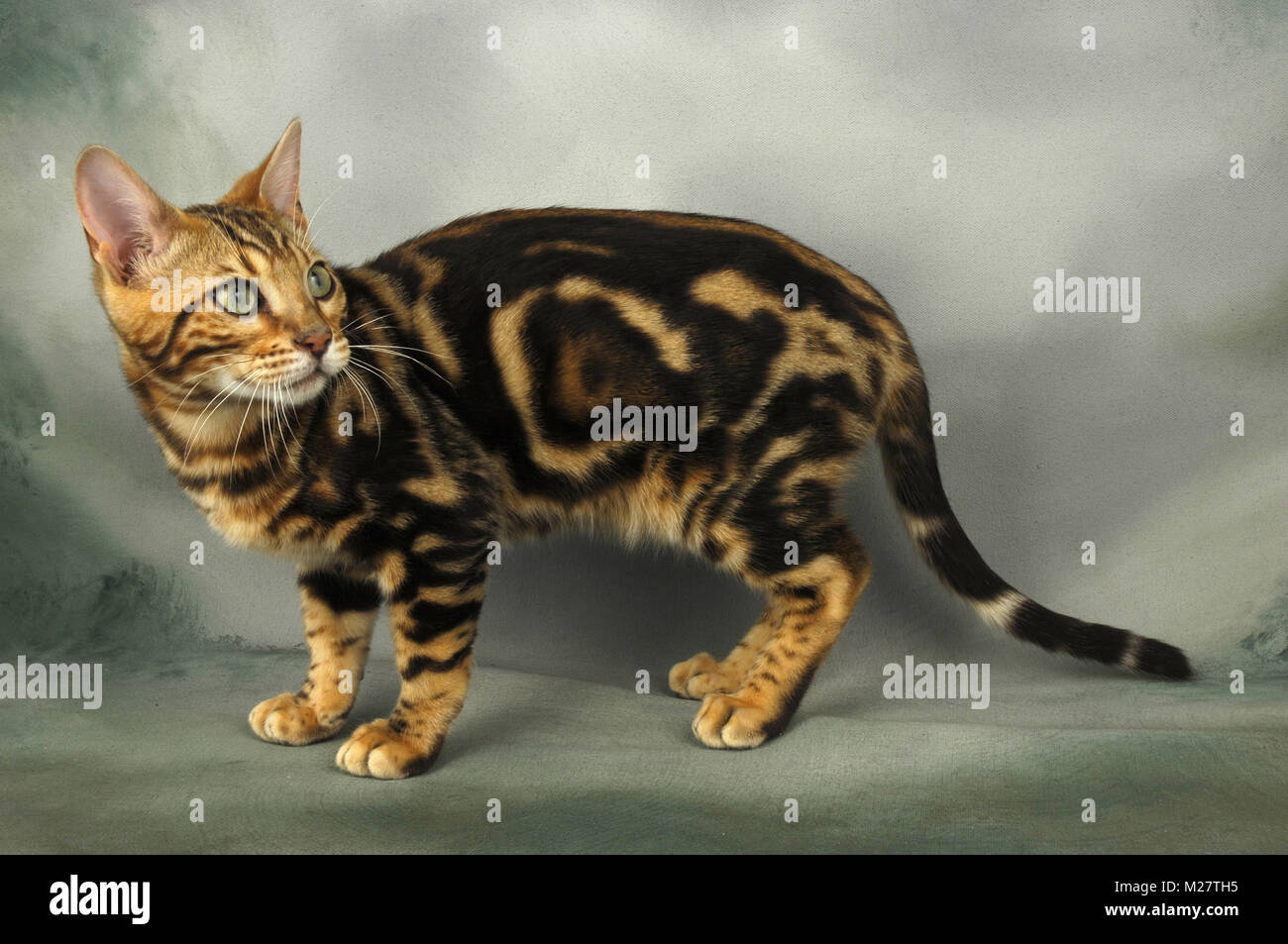 3f3882af46 Marble Bengal Cat Stock Photos   Marble Bengal Cat Stock Images - Alamy
