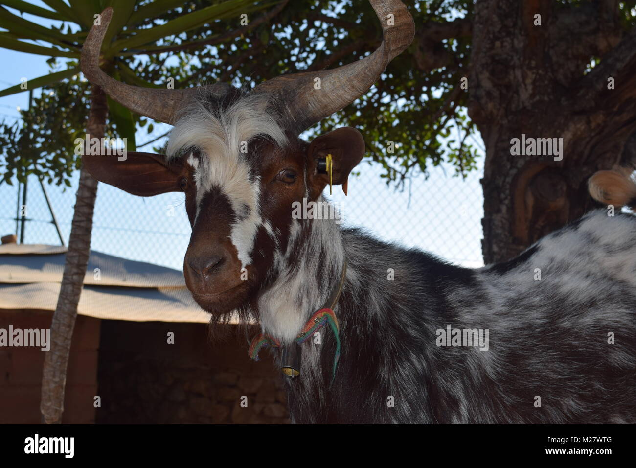 A young goat, jumping the walls of the farm. - Stock Image