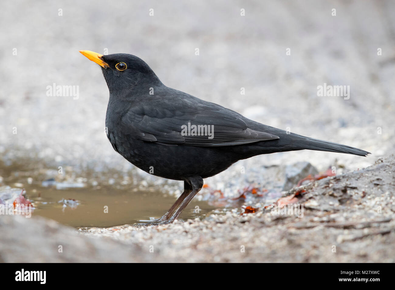 Common Blackbird (Turdus merula), adult male standing on the ground - Stock Image