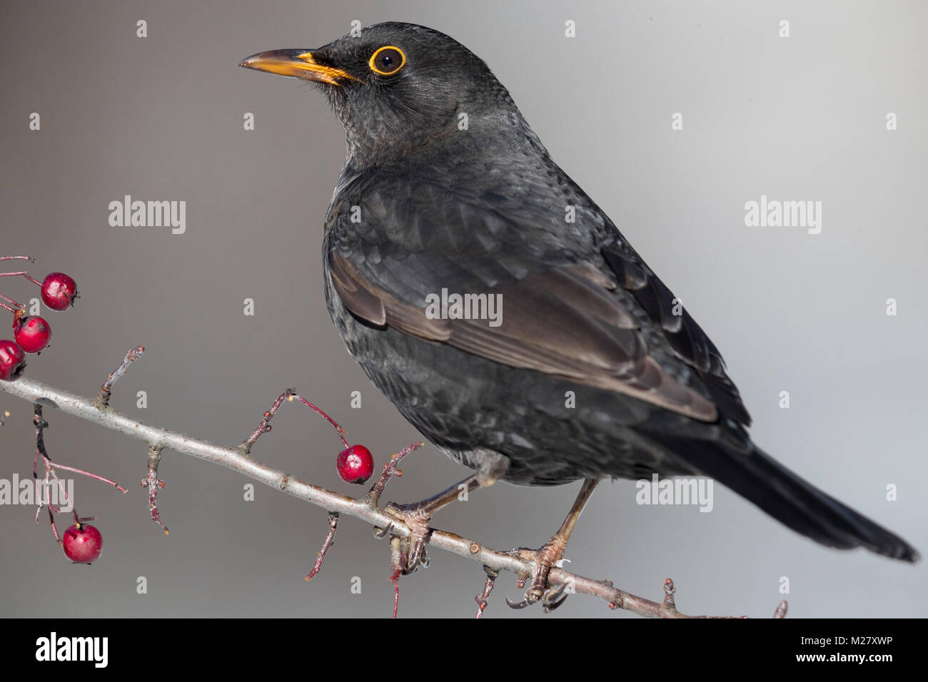 Common Blackbird (Turdus merula), adult male perched on a Hawthorn's branch - Stock Image