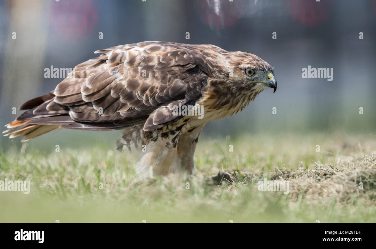 Red Tailed Hawk - Stock Image