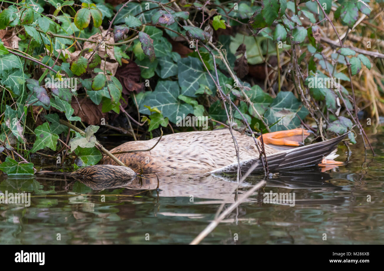A dead female Mallard duck partly submerged in water in Winter in West Sussex, England, UK. - Stock Image