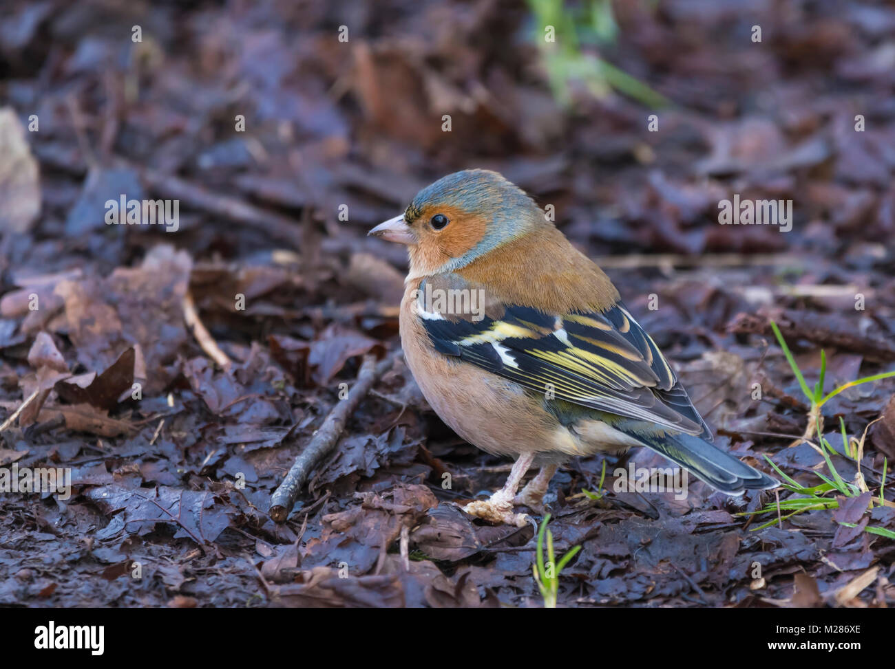 Adult male Common Chaffinch (Fringilla coelebs), a small bird in Winter foraging on the ground in West Sussex, England, - Stock Image