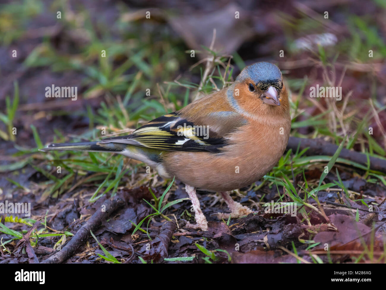 Adult male Common Chaffinch (Fringilla coelebs), a small bird in Winter on the ground eating in West Sussex, England, - Stock Image