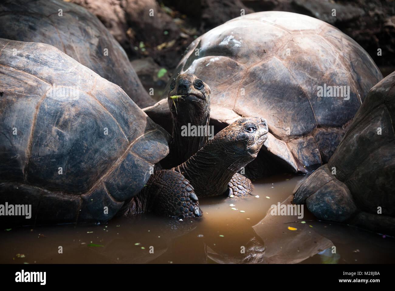 Aldabra giant tortoises in turtle sanctuary, on Prison island reservation, Zanzibar - Stock Image