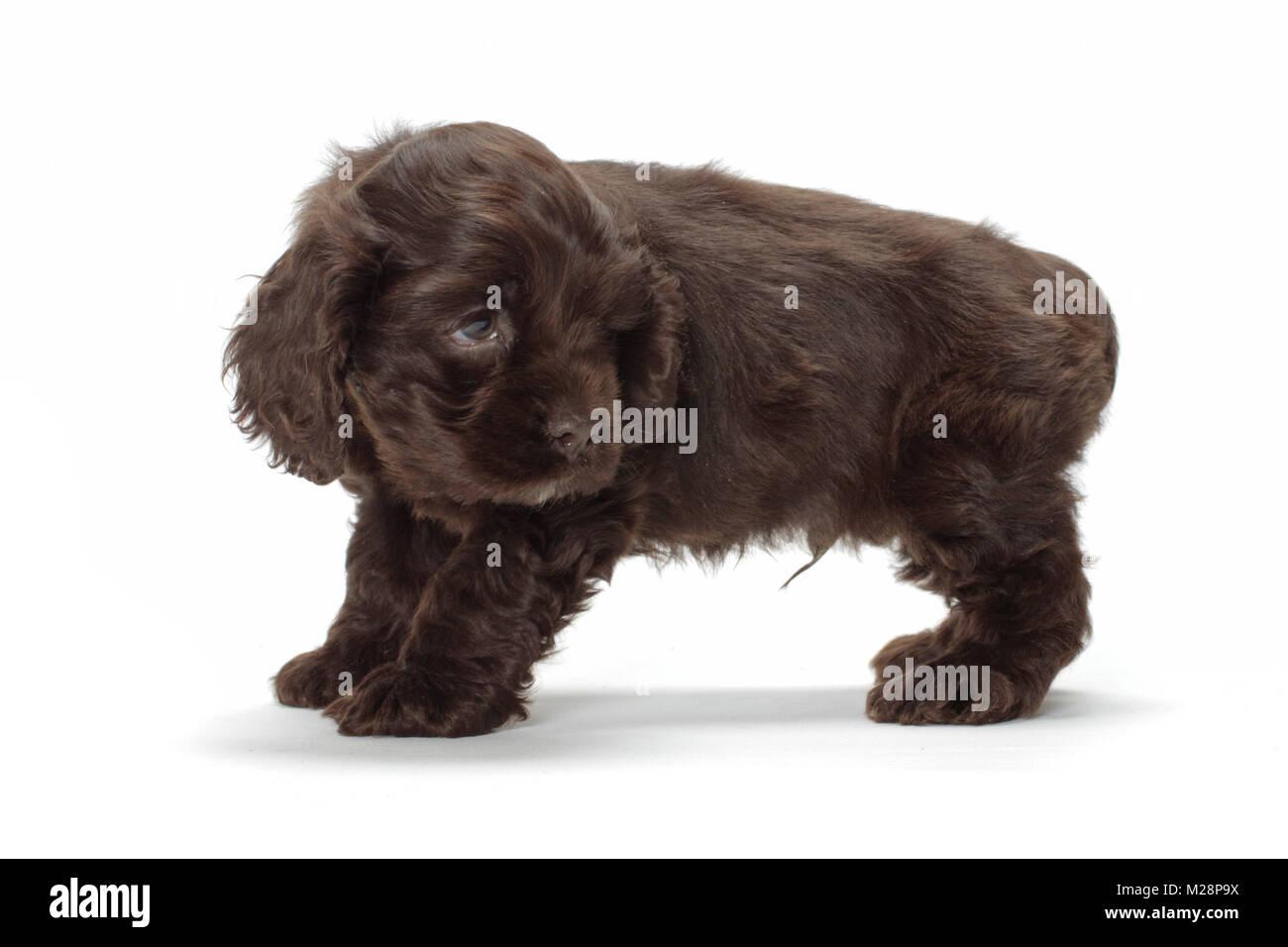 Chocolate American Cocker Spaniel Puppy On White Background Stock Photo Alamy