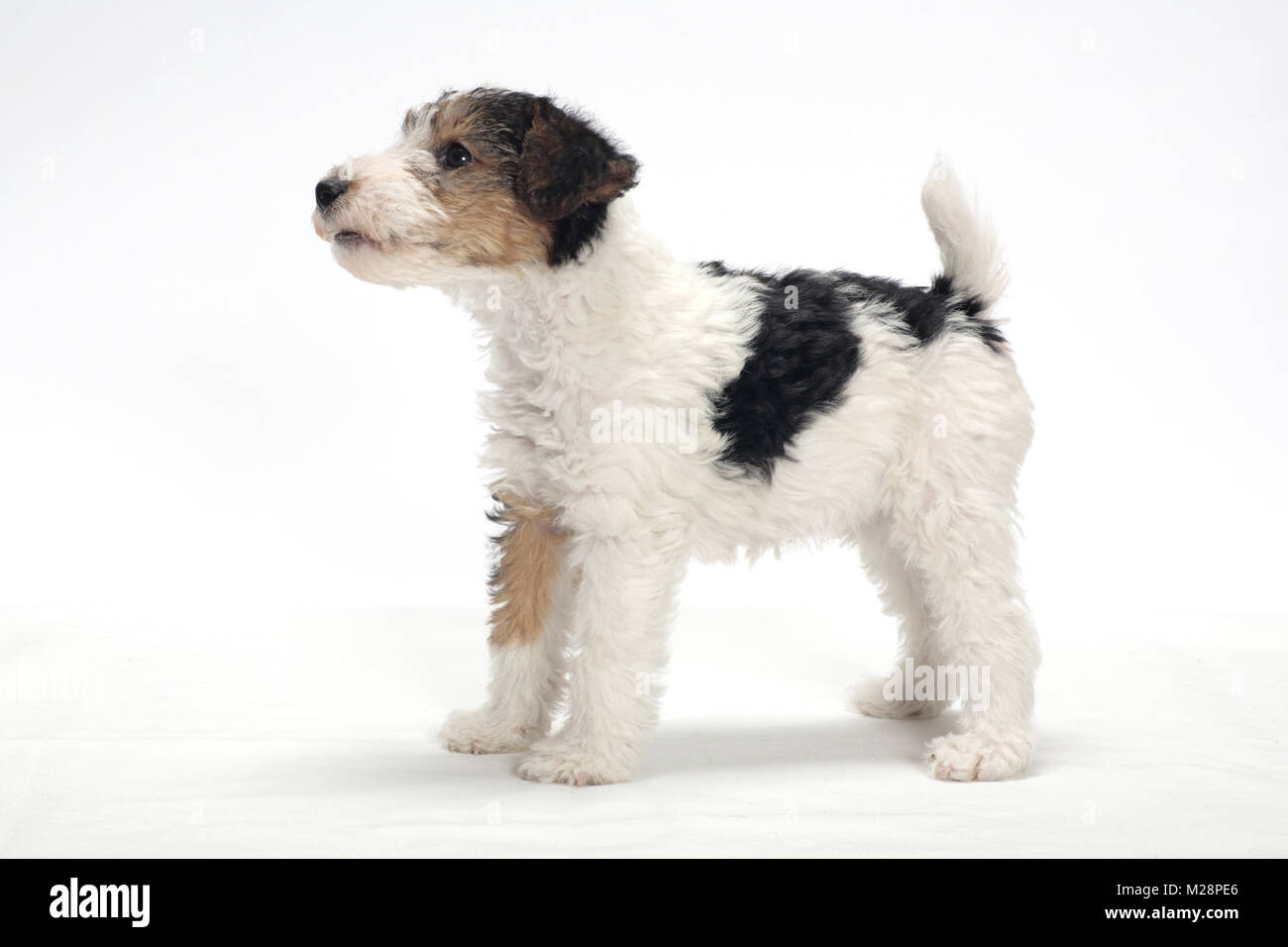 wirehaired Fox Terrier puppy on white background, side view Stock ...