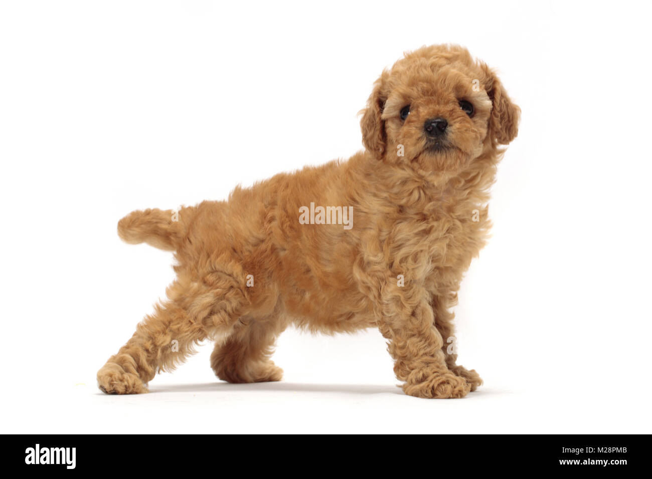 Apricot Toy Poodle Puppy Side View Stock Photo 173526427 Alamy
