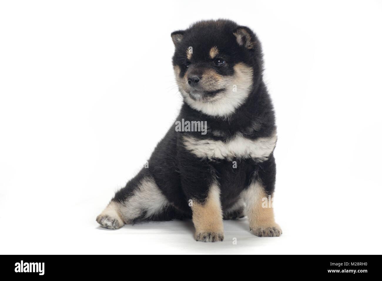 Shiba Inu Puppy Black And Tan Colour Stock Photo Alamy