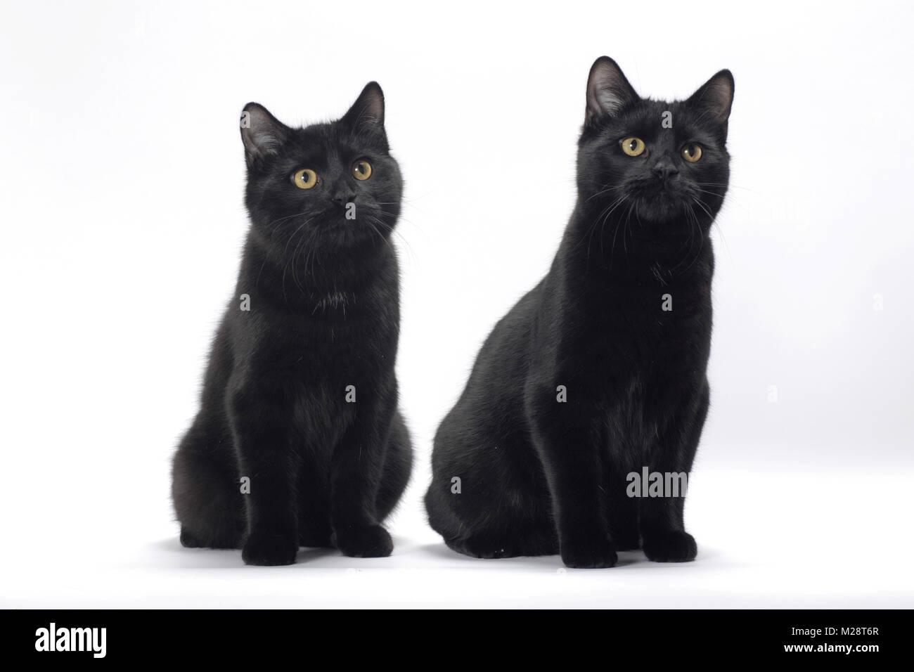 Manx Cats Stock Photos & Manx Cats Stock Images - Alamy