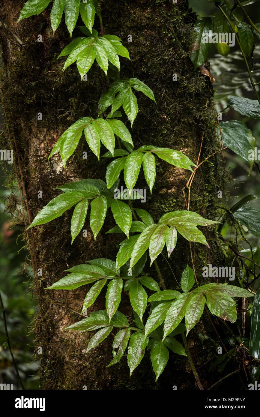 A climbing liana from the Atlantic Rainforest - Stock Image