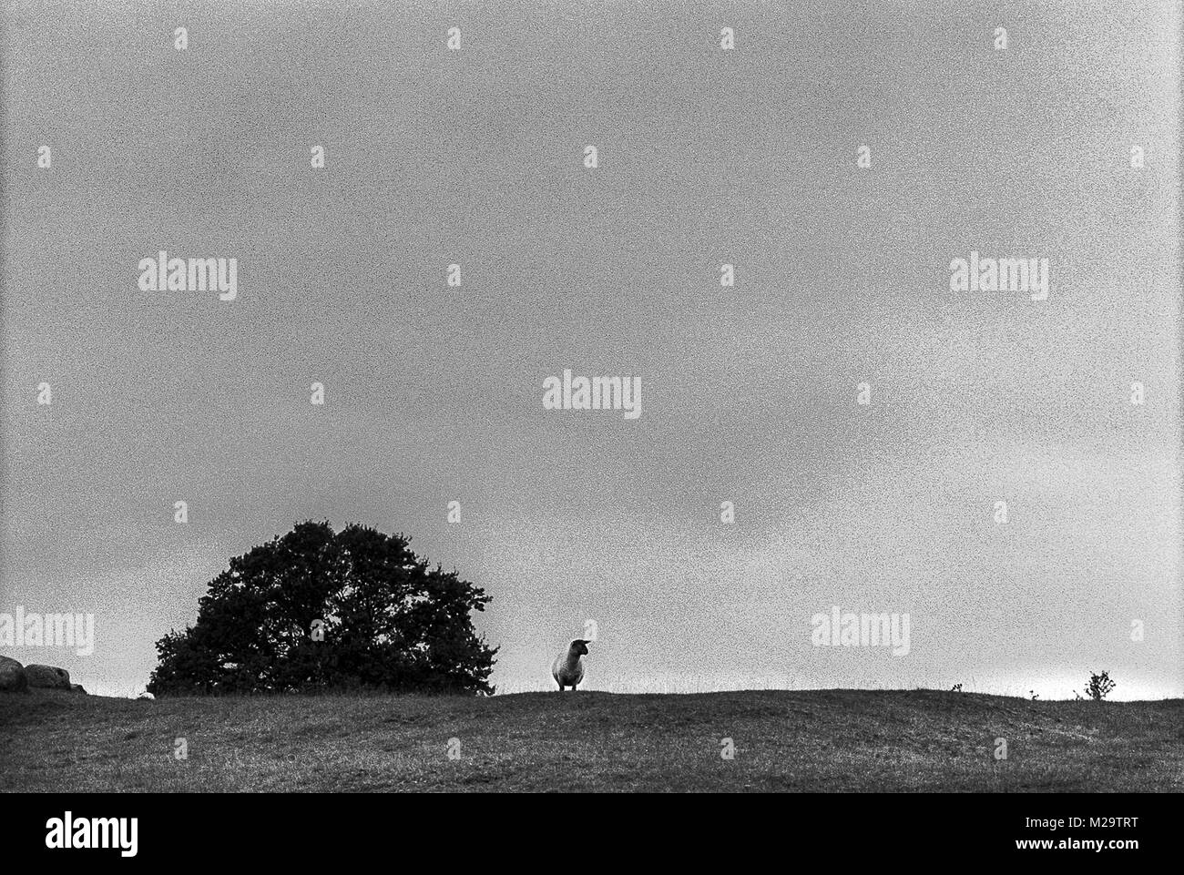 A sheep standing on a hill a looking out over it's domains with the sky behind. - Stock Image
