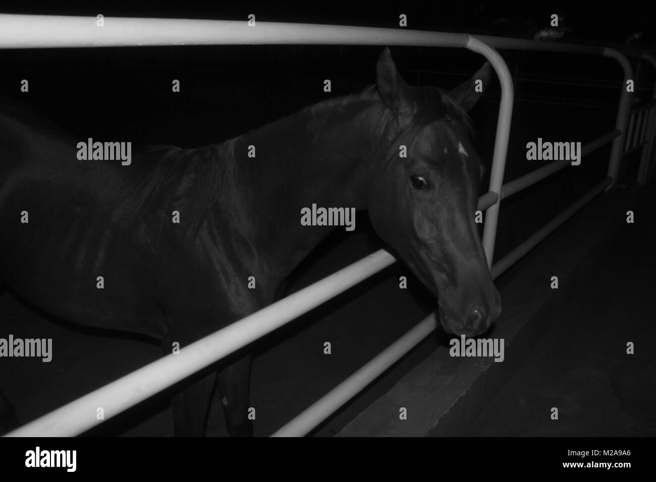 A black and white photograph of a horse popping-out of a fence at, night - Stock Image