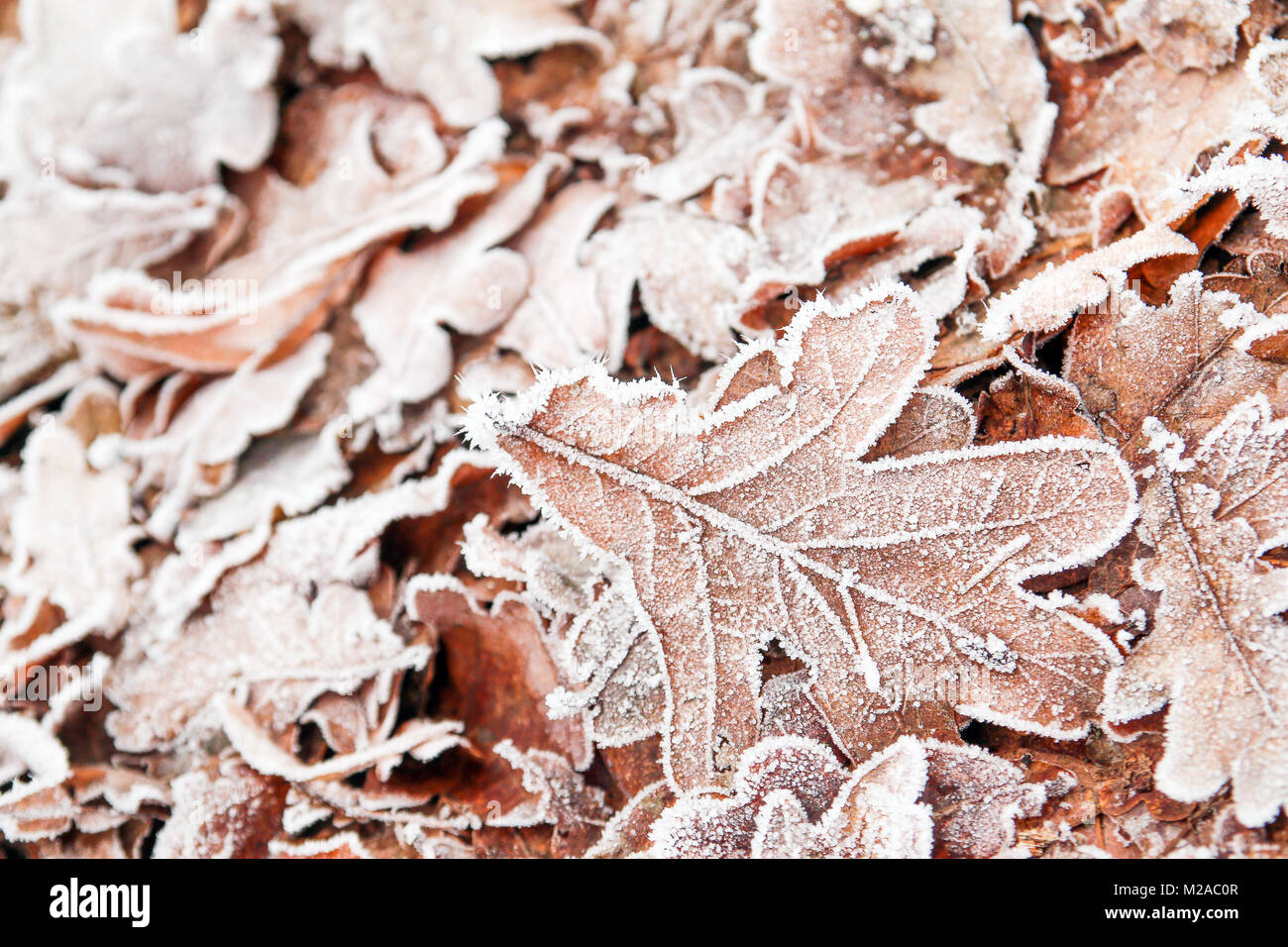 A detail picture of frozen oak leaf lying on the ground in the deciduous forest. - Stock Image