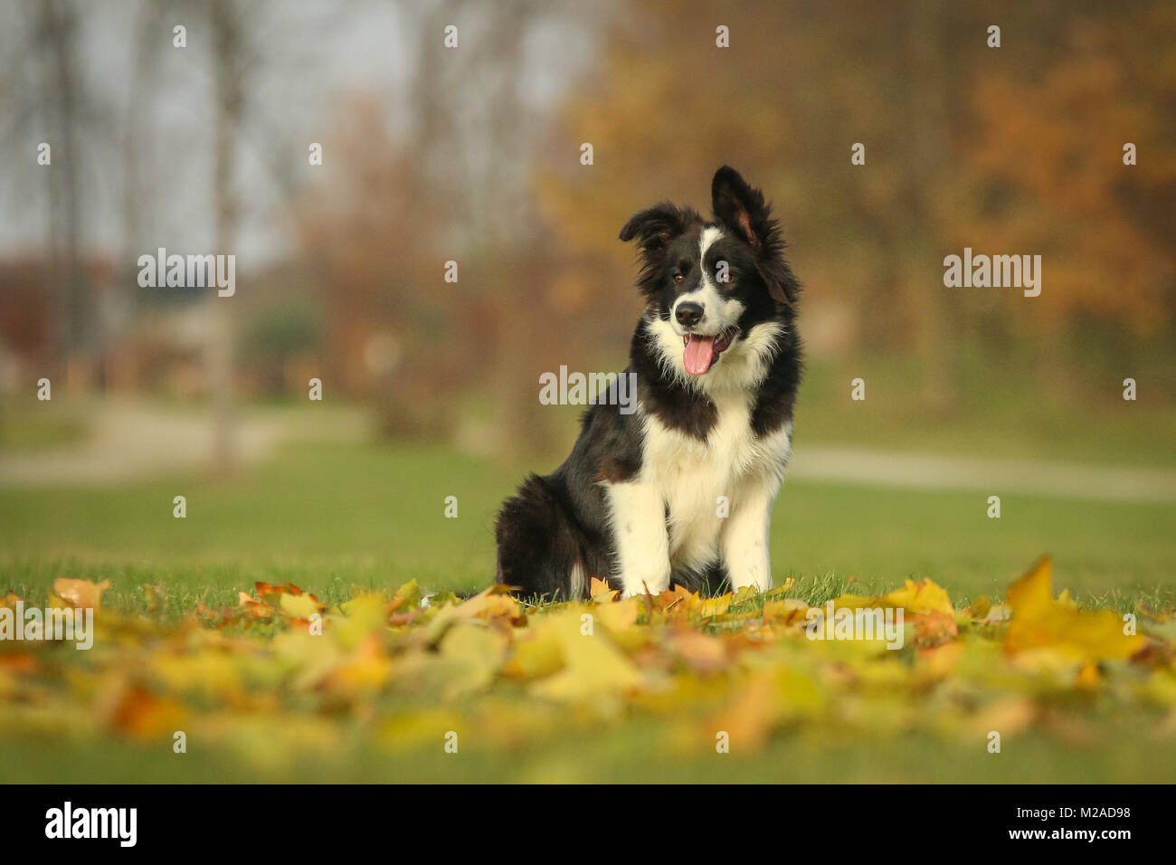 A picture of the young border collie puppy enjoying the walk in the nature. - Stock Image