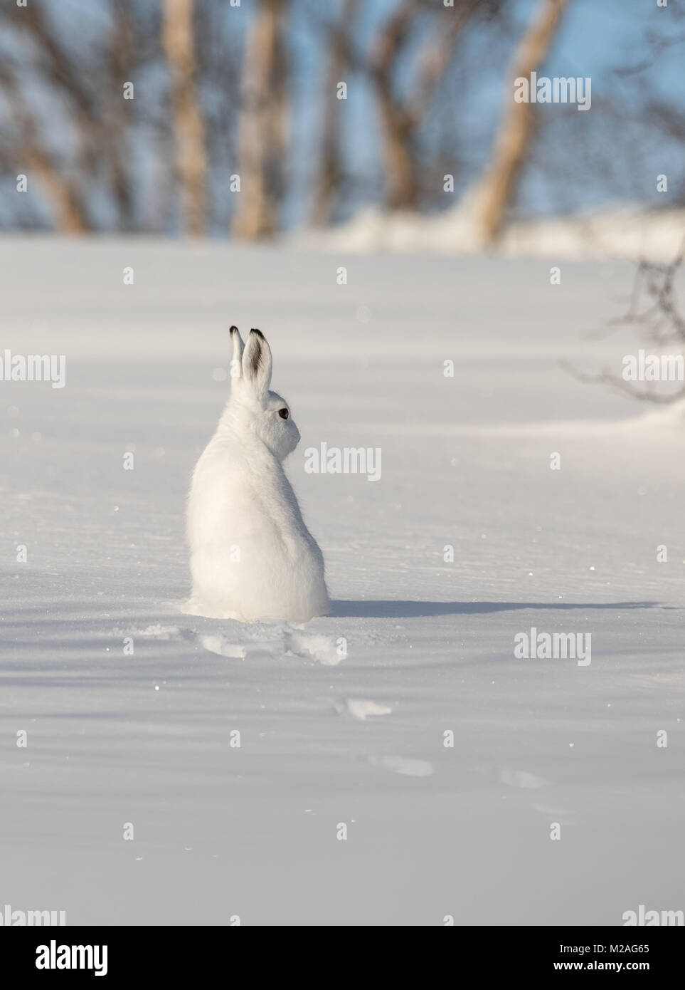 The mountain hare, Lepus timidus, in winter pelage, sitting in snow, looking right, in the snowy winter landscape - Stock Image
