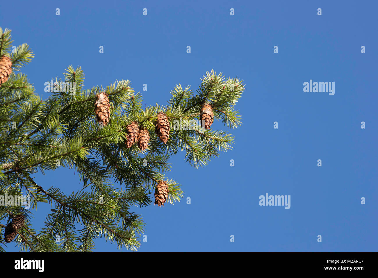 Cones on a fir tree with a blue sky behind - Stock Image