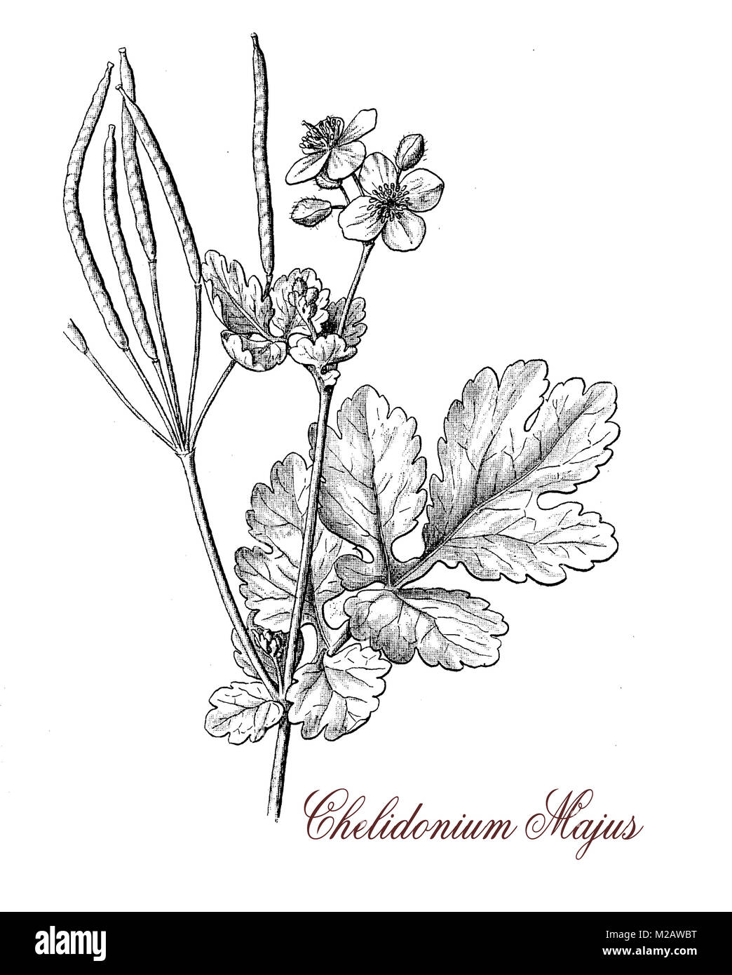 vintage engraving of chelidonium of the buttercup family,herbaceous plant with yellow flowers; it grows in temperate Stock Photo