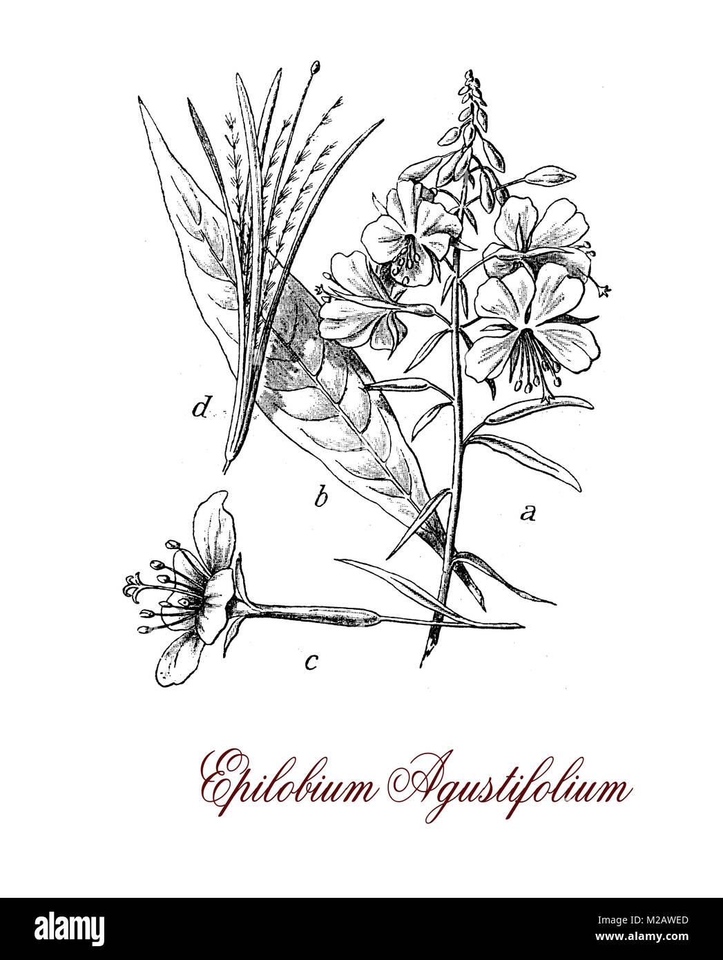 Vintage engraving of Chamaenerion or Epilobium angustifolium, plant with narrow leaves and magenta-pink flowers - Stock Image