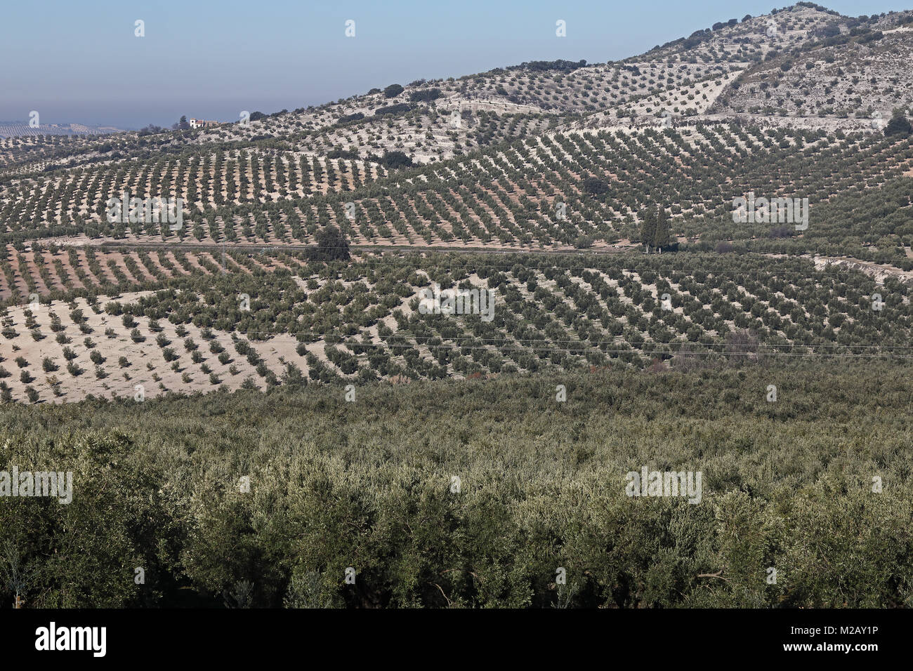 view over Olive groves  Jaen province, Region of Andalusia, Spain, Europe         January Stock Photo
