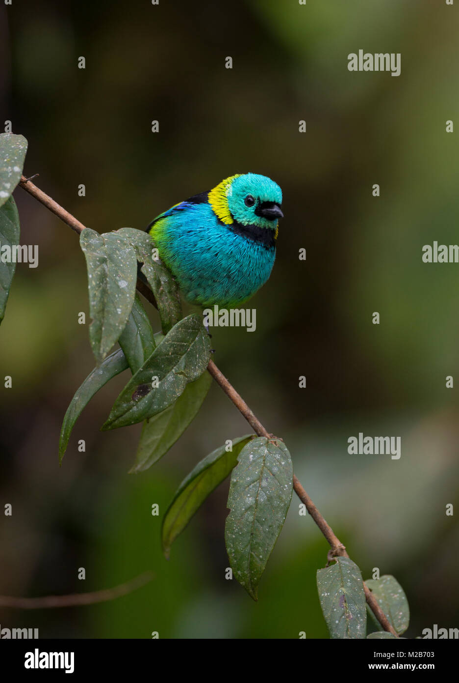 Green-headed Tanager (Tangara seledon) from the Atlantic Rainforest - Stock Image