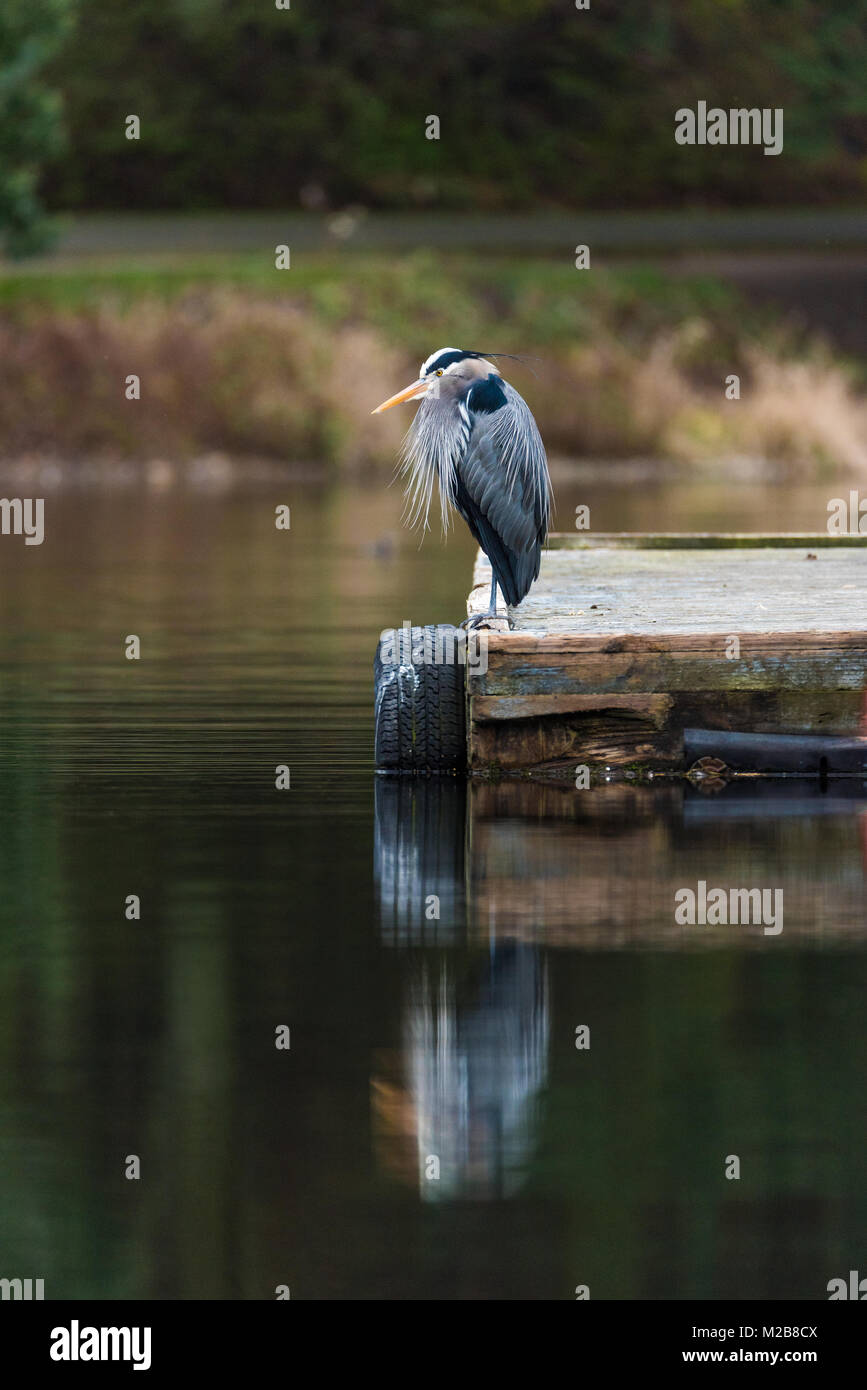 Great Blue Heron on dock with reflection in water - Stock Image