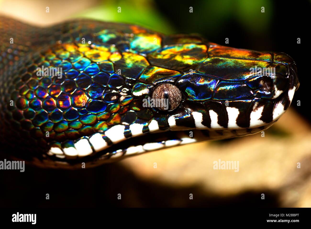 Python Snake Stock Photos & Python Snake Stock Images - Alamy